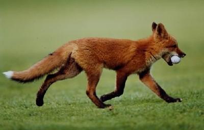 Лиса тырит мяч для гольфа в Швейцарии